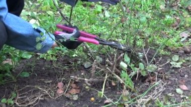 Gardener in autumn garden cut with scissors clipper rose  stem — Stock video