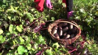 Gardener harvesting beetroot vegetable in farm — Stock Video