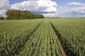 Summer time wheat crop field — Стоковое фото