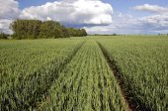 Summer time wheat crop field — 图库照片