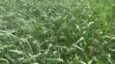 Summer time farmland wheat plants  and wind — Stock Video