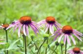 Purple beautiful medical perennial cone flowers Echinacea Purpurea  — Stock Photo