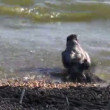 Hooded crow (Corvus corone) sea water bath wash on beach — Stock Video #60963511