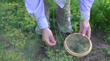 Farmer gardener pick fresh dill — Stock video