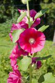 Beautiful summer hollyhock alcea rosea flowers in garden — Stock Photo