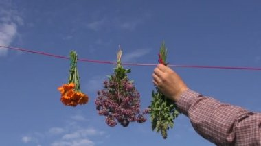 Hanging fresh medical herbs flowers bunch on string — Stock Video