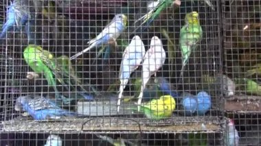 Cage with many multicolored  budgerigars in Mumbai market, India — Stock Video
