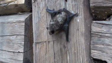 Bat species (Eptesicus nilssonii) on old wooden farm  barn wall — Stock Video