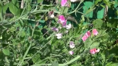 Summer vetchling Lathyrus odoratus beautiful blossoms — Stock Video