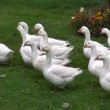 White domestic birds gooses group on  grass in farm — Stock Video #64147431