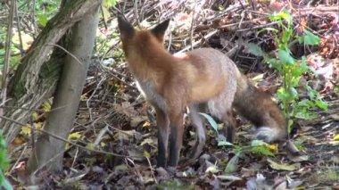 Bel sauvage le renard roux (vulpes vulpes) en forêt d'automne — Vidéo