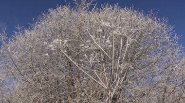 Beautiful winter Christmas  New year time hoarfrost rime on plants — ストックビデオ