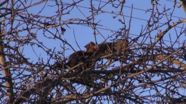 Two cats  on spring apple tree treetop branches — Stock Video