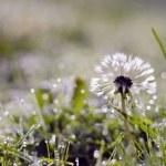 Blur dewy dandelion head with seeds on grass — Stock Photo #65574685