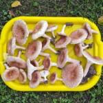 Tray full of mushrooms ( Lactarius torminosus) on grass — Stock Photo #65591511