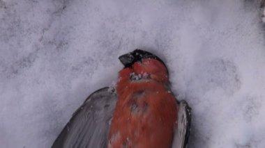 Dead frozen bird bullfinch on winter snow (Pyrrhula pyrrhula) — Stock Video