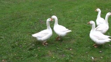 White domestic animal gooses in summer farm — Stock Video