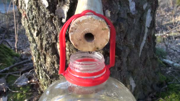 Savia de abedul manantial saludable gotas en botella — Vídeo de stock