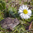 garlic frog (Pelobates fuscus) toad on spring grass and flower — Stock Photo #68454723