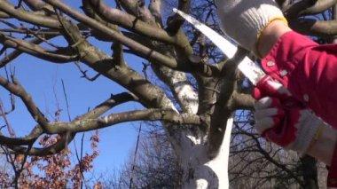 Farmer cut  apple  branch in spring garden with handsaw — Stock Video