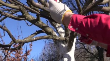Gardener cut prune apple tree branch in spring  with handsaw — Stockvideo