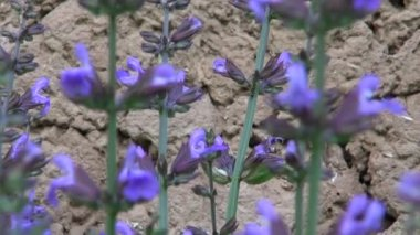 Beautiful sage (Salvia officinalis) medical plant blossoms in garden near barn wall — Stock Video