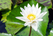 Pure white lotus — Stock Photo
