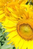 Fresh booming sunflower — Stock Photo