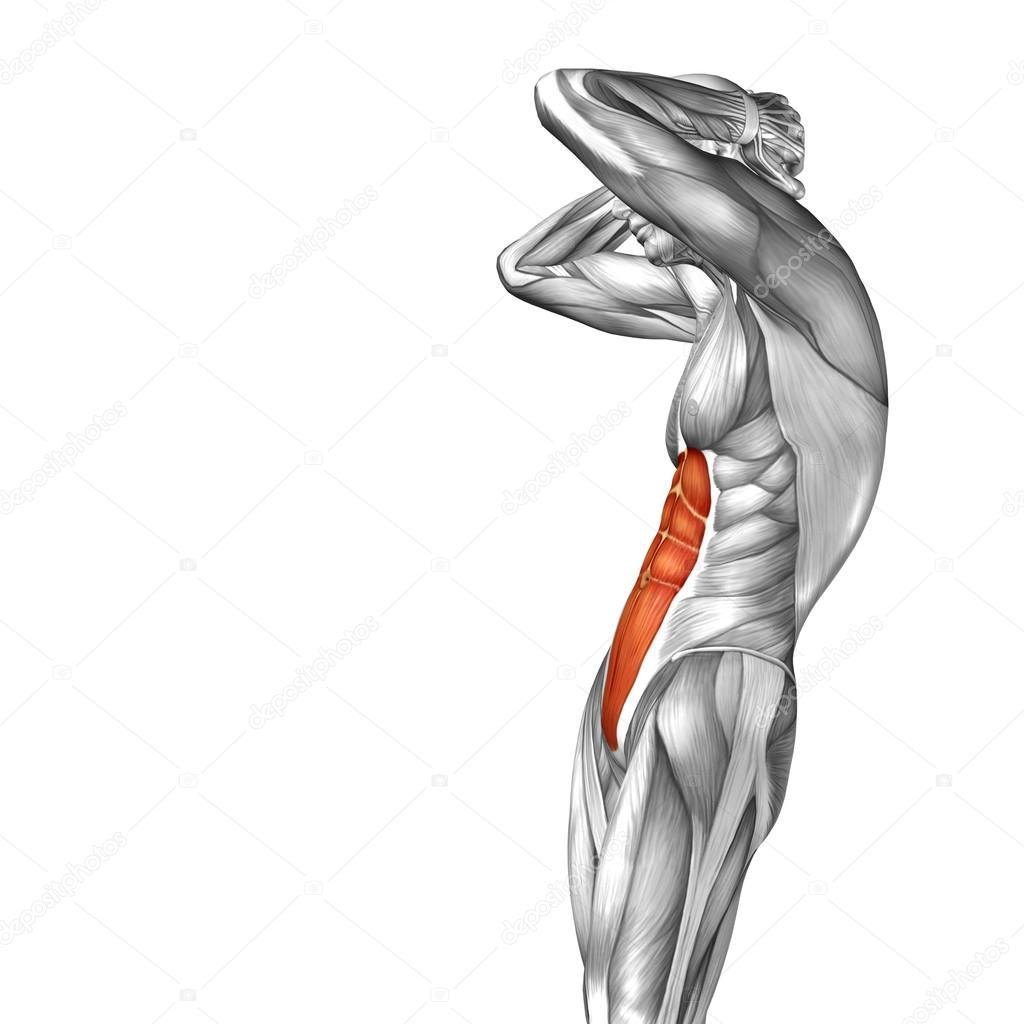 Human abdomen anatomy 3d