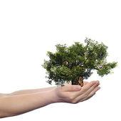 Hand holding spring tree — Stock Photo