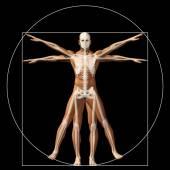 Conceptual proportion anatomy body — Stock Photo