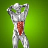 3D chest human anatomy and muscle — Stock Photo