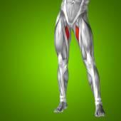 Human upper leg anatomy — Stock Photo