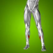 Lower leg anatomy — Stock Photo