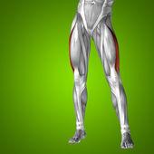 Upper leg anatomy — Stock Photo