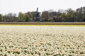 Dutch Bulb Flowerfield near Keukenhof — Stock Photo