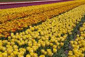 Dutch Bulb Flowerfield near Keukenhof. Bright yellow tulips, blue sky background. — Stock Photo