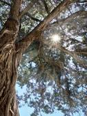 Rays of the sun through the branches of the relic juniper — Stock Photo