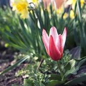 Små-blåst red tulip flower närbild — Stockfoto