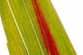 Close-up pictures of maize leaf — Stock Photo