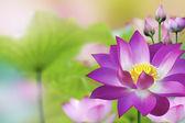 Planta de agua hermoso loto púrpura - flor de loto — Foto de Stock