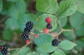 Blackberry Bramble - Black and Red Berries — Stock Photo