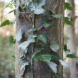 Ivy - Hedera crawling up a tree — Stock Photo #53256481