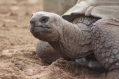 Aldabran Giant Tortoise - Aldabrachelys gigantea — Stock Photo