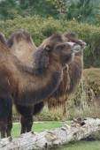 Bactrian Camel - Camelus bactrianus — Stock Photo