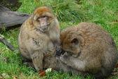 Barbary Macaque - Macaca sylvanus — Zdjęcie stockowe