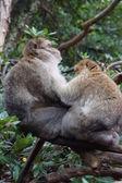 Barbary Macaque - Macaca sylvanus — Stock Photo