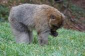 макака barbary - macaca sylvanus — Стоковое фото
