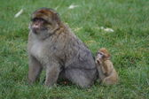 Barbary Macaque - Macaca sylvanus — Stock Photo