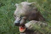 Extinct Cave Bear - Ursus spelaeus — Stok fotoğraf